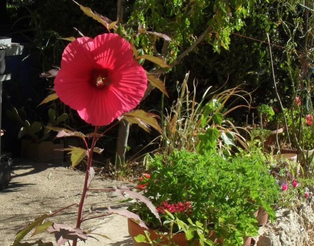 Hibiscus des marais Sam_9334