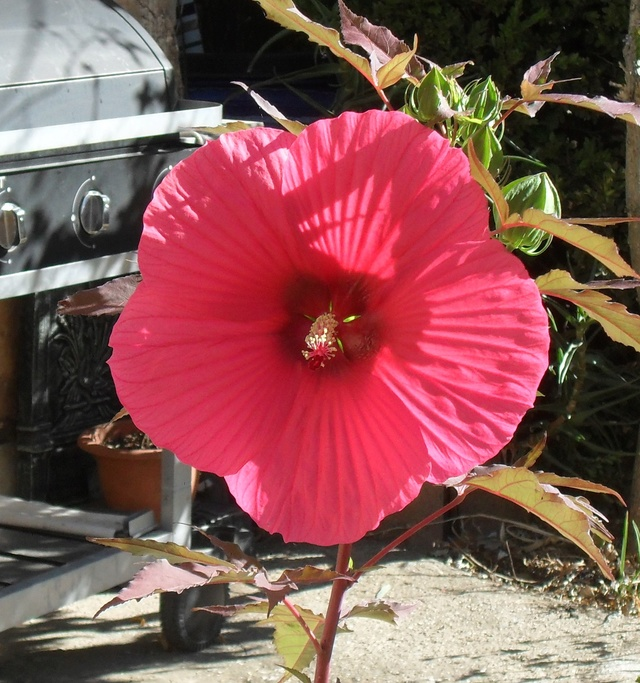 Hibiscus des marais Sam_9335