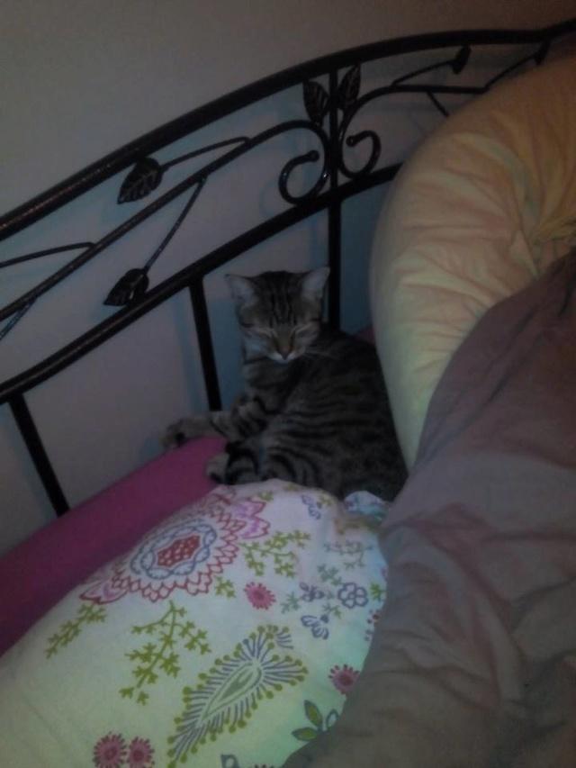 MELBOURNE (chaton tigré marron) 11215110