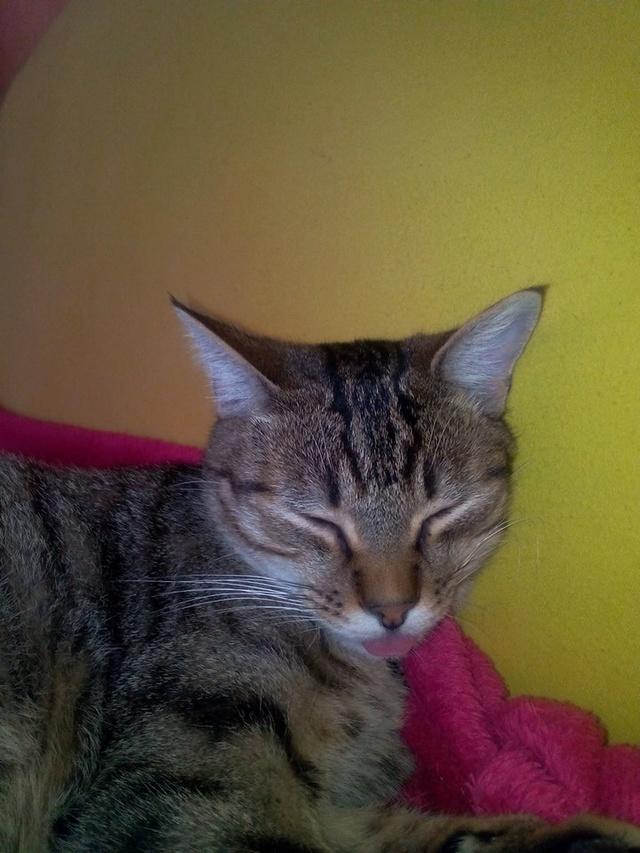MELBOURNE (chaton tigré marron) 12065410