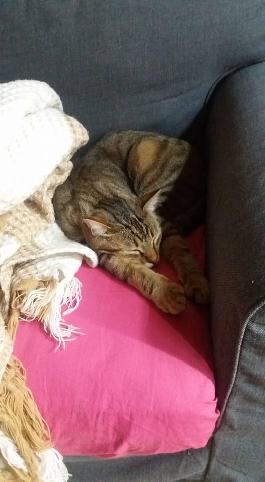 MELBOURNE (chaton tigré marron) 14232410