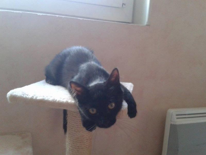 DOMINO (chaton mâle poils mi long) 14233110