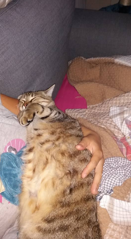 MELBOURNE (chaton tigré marron) 14333710