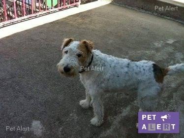 JONQUILLE (femelle fox terrier) 14469410