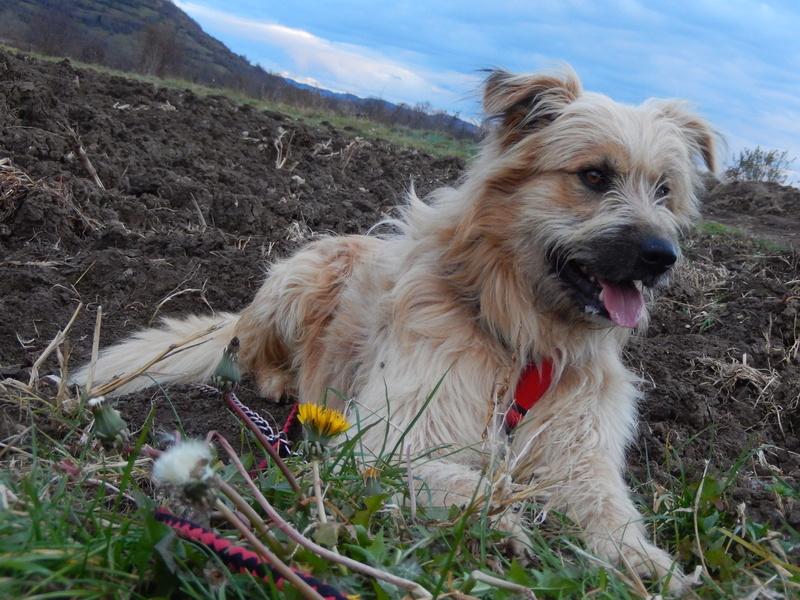 FARFADET (chien croisé labry) 3dscn213