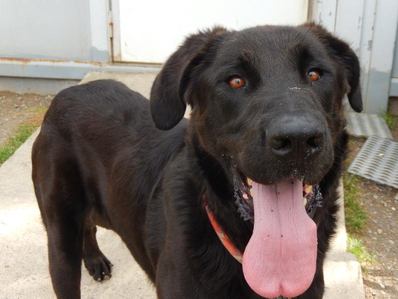 LOUXOR (chien mâle croisé dogue labrador) Dscn2314