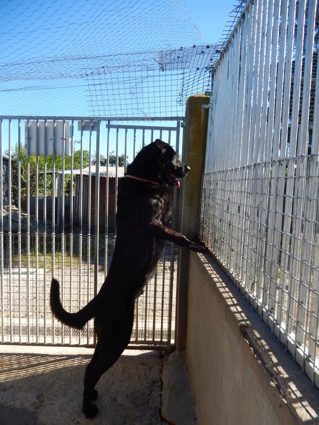 LOUXOR (chien mâle croisé dogue labrador) Dscn2510