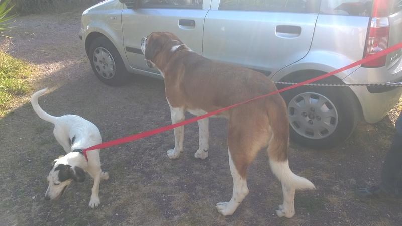 Trouvé SAINT BERNARD et chien type ratier Wp_20110