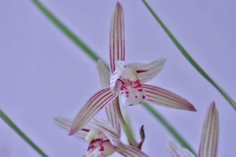 cymbidium ensifolium Cymbid10