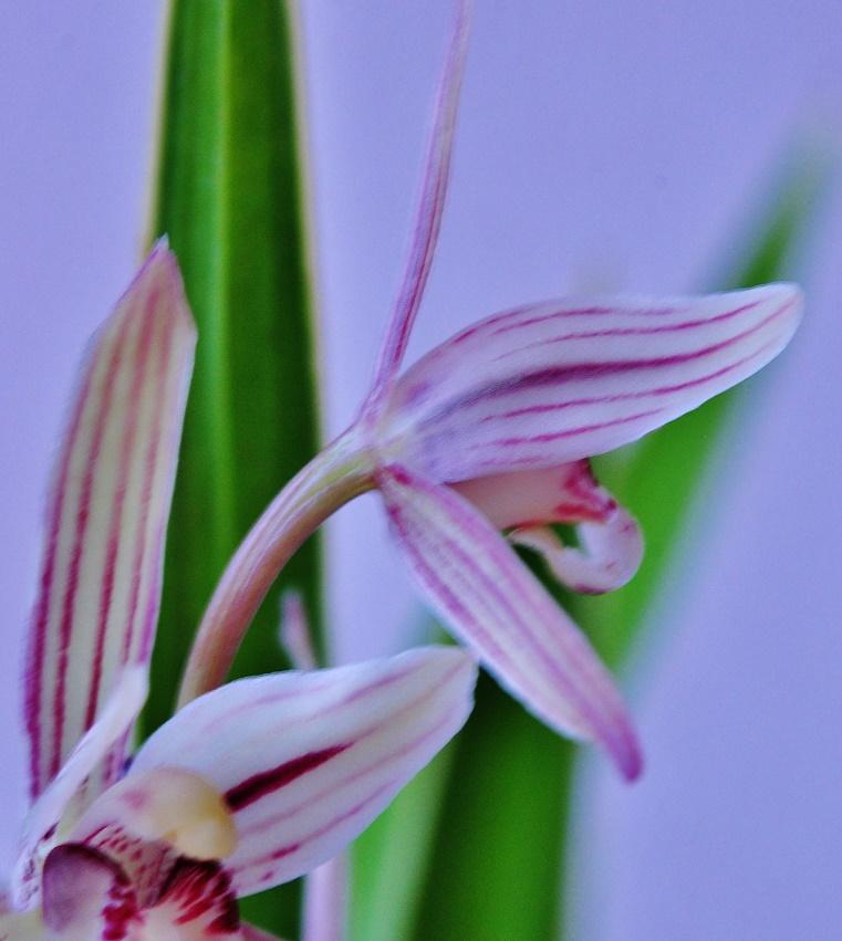cymbidium ensifolium Cymbid12