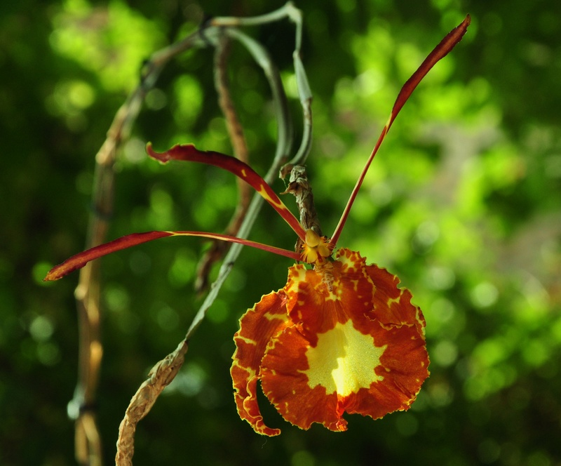 psychopsis mariposa Dsc_8110