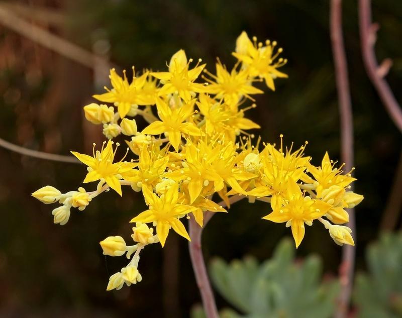 Sedum pachphyllum Sedum_60