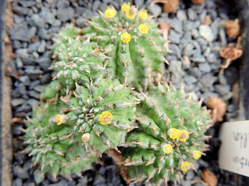 Euphorbia sepulta X_dscn10