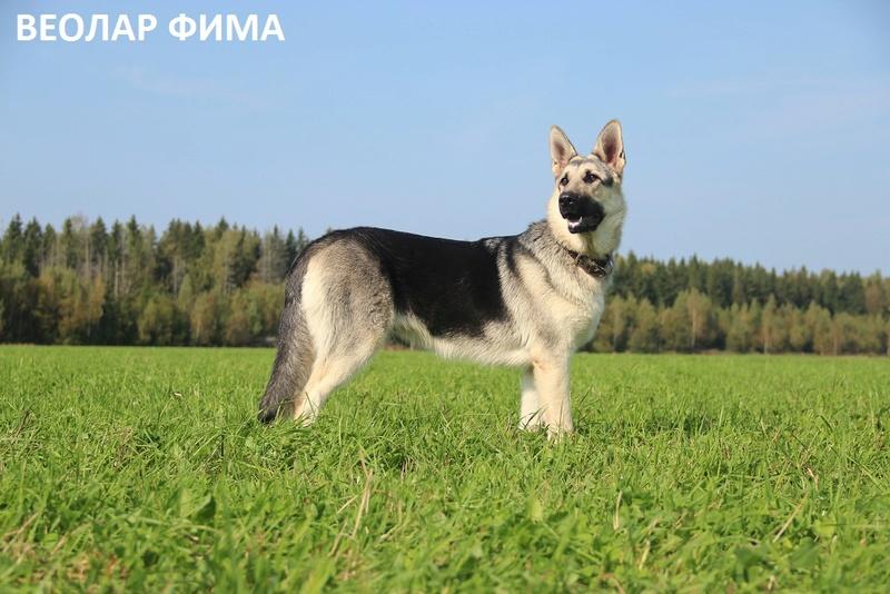 ВОСТОЧНО-ЕВРОПЕЙСКАЯ ОВЧАРКА ВЕОЛАР ФИМА Img_4610