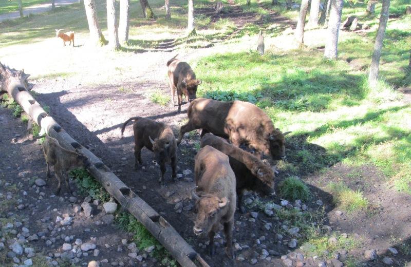 В «Смоленском поозерье» будут разводить зубров 122