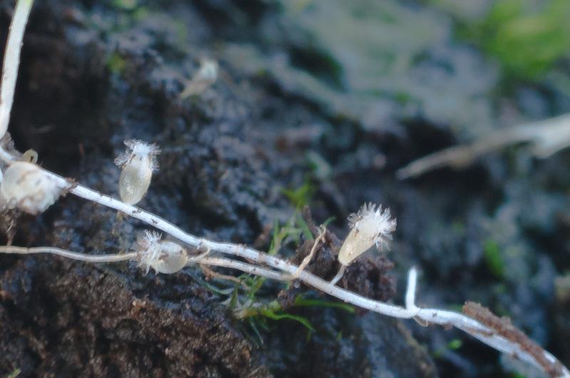 Sarracenia en bouton Utricu11
