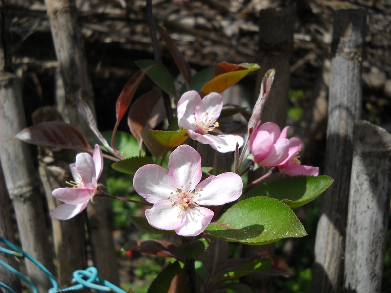 What variety of apple tree is this? 2012-410
