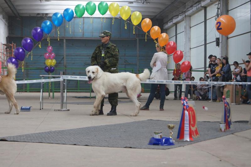 3 сентября 2016 года, МОНО Среднеазитской Овчарки, Хабаровск. Dsc05019