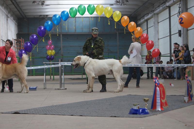 3 сентября 2016 года, МОНО Среднеазитской Овчарки, Хабаровск. Dsc05020