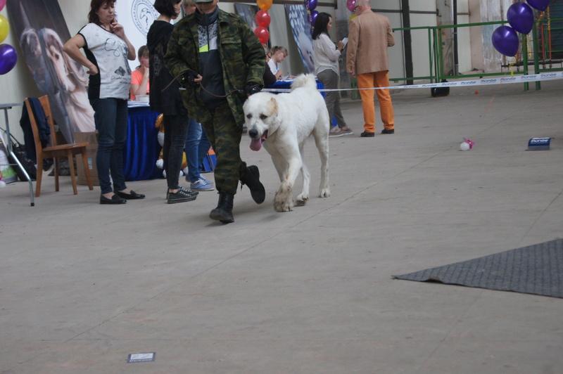 3 сентября 2016 года, МОНО Среднеазитской Овчарки, Хабаровск. Dsc05022