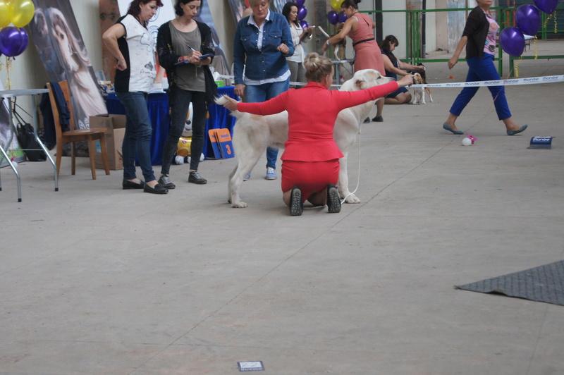 3 сентября 2016 года, МОНО Среднеазитской Овчарки, Хабаровск. Dsc05033