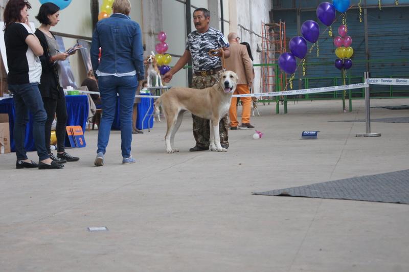 3 сентября 2016 года, МОНО Среднеазитской Овчарки, Хабаровск. Dsc05038