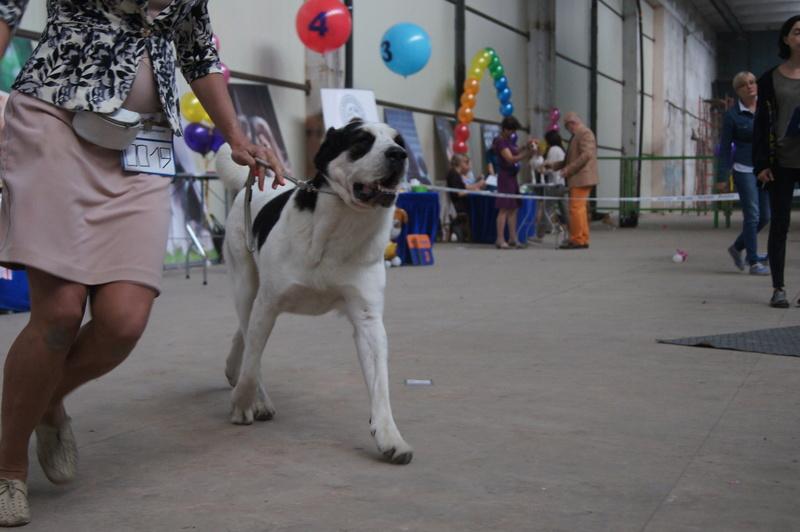 3 сентября 2016 года, МОНО Среднеазитской Овчарки, Хабаровск. Dsc05113