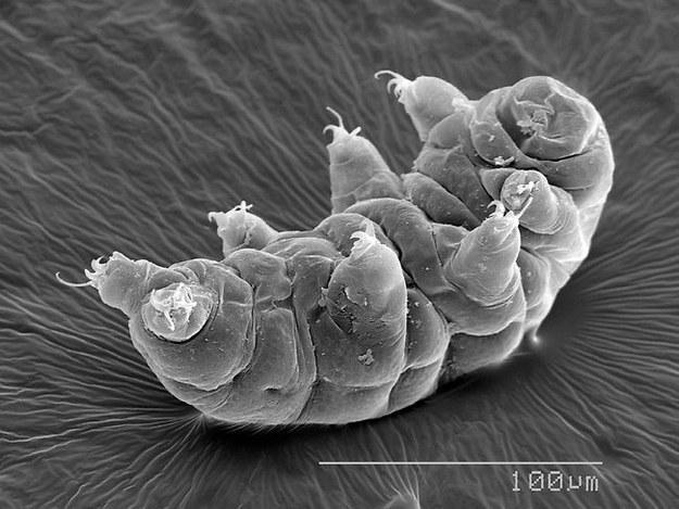 Le tardigrade, cet animal quasi indestructible, est-il la clé de l'immortalité ? Enhanc10
