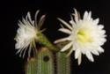 ma premiere floraison  Ds_cn110