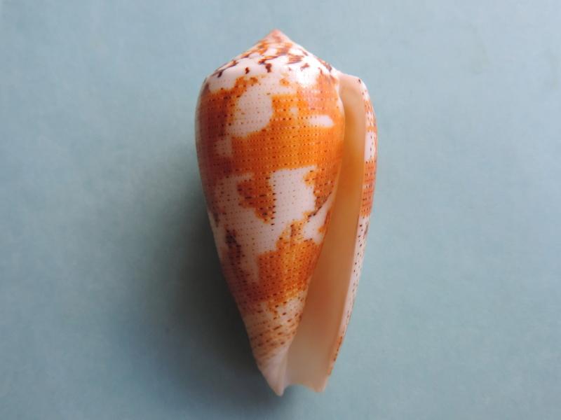 Conus (Pionoconus) magus fulvobullatus da Motta 1892 voir Conus (Pioconus.) magus Dscn8410