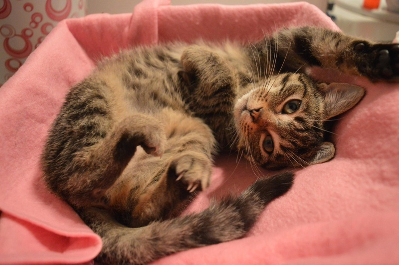 Maya, femelle type européen tigrée née le 30/06/2016 14882110