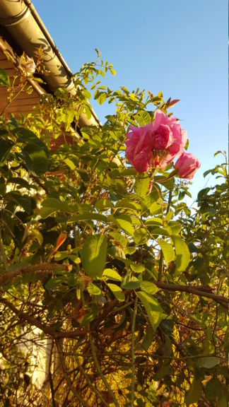Rose de Damas 4 saisons  20181012