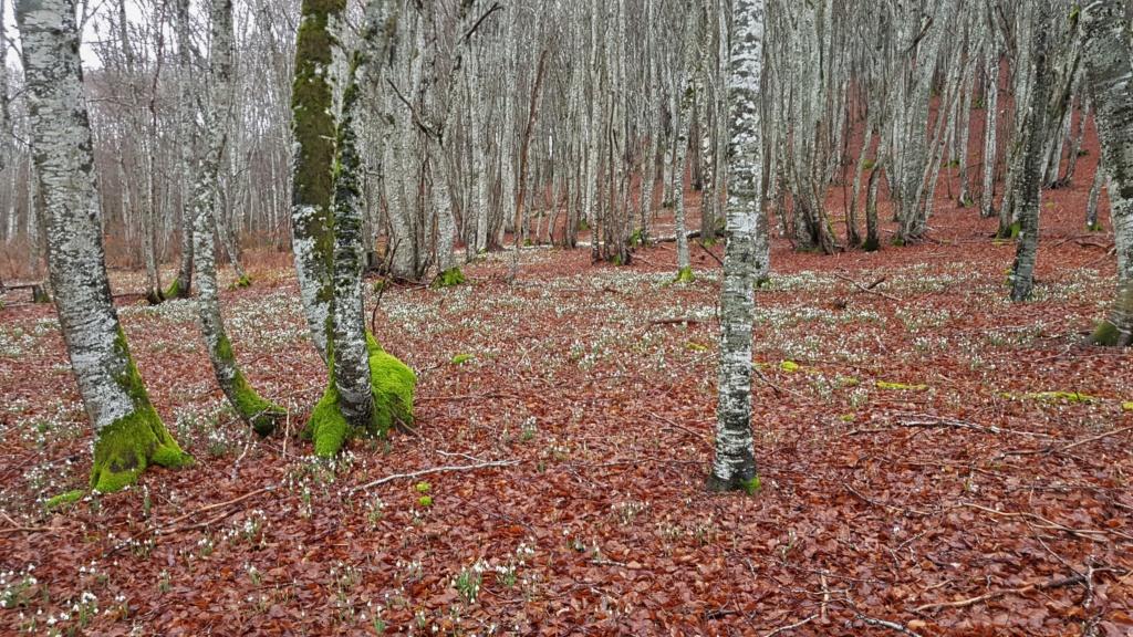 Galanthus nivalis in situ 20200210
