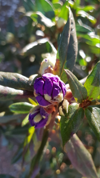 Rhododendron 2020 20200415
