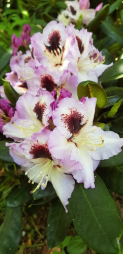 Rhododendron 2020 20200550