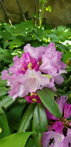 Rhododendron 2020 20200551