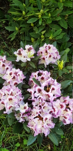 Rhododendron 2020 20200561