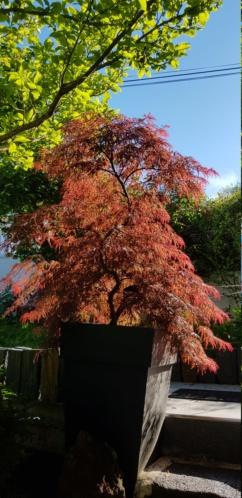 Acer palmatum dissectum 'Inaba Shidare' 20200562