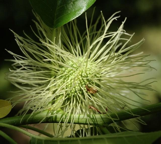 Maclura pomifera - oranger des Osages - Page 3 Maclur11