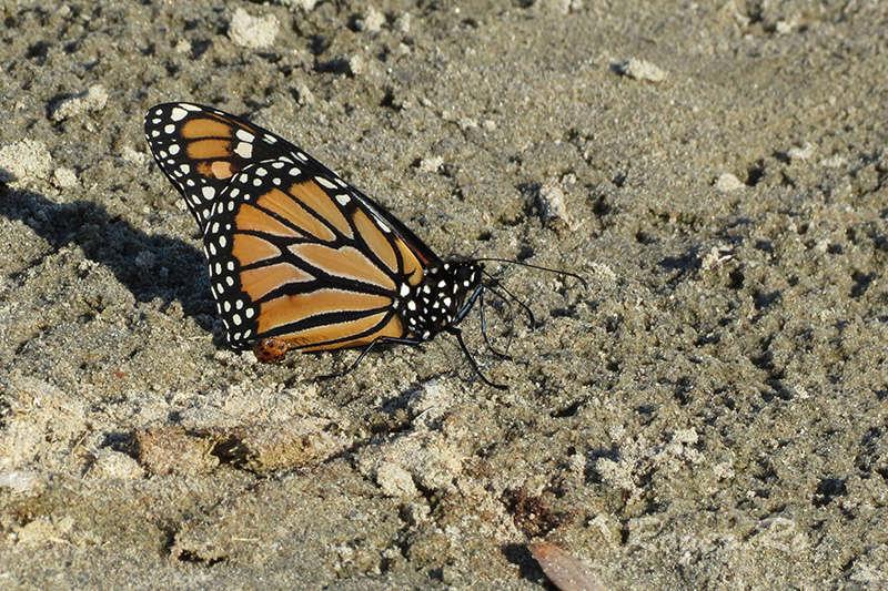 Papillon Monarque 2016-016