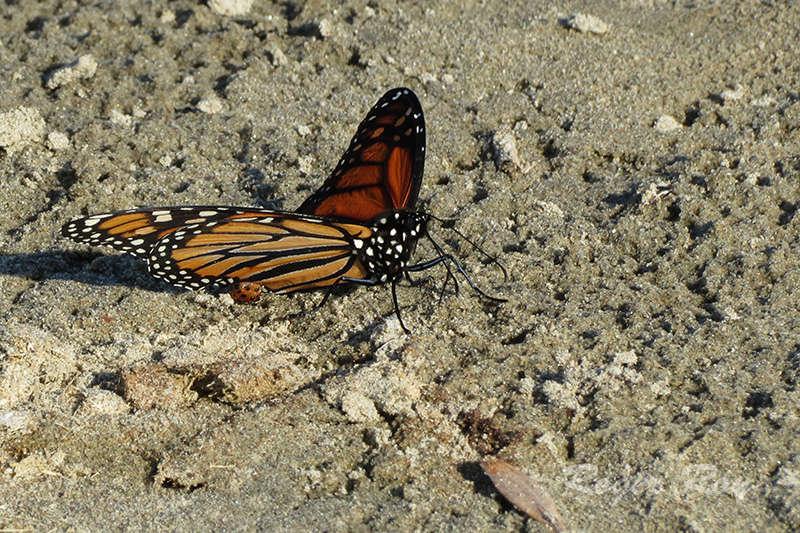 Papillon Monarque 2016-017