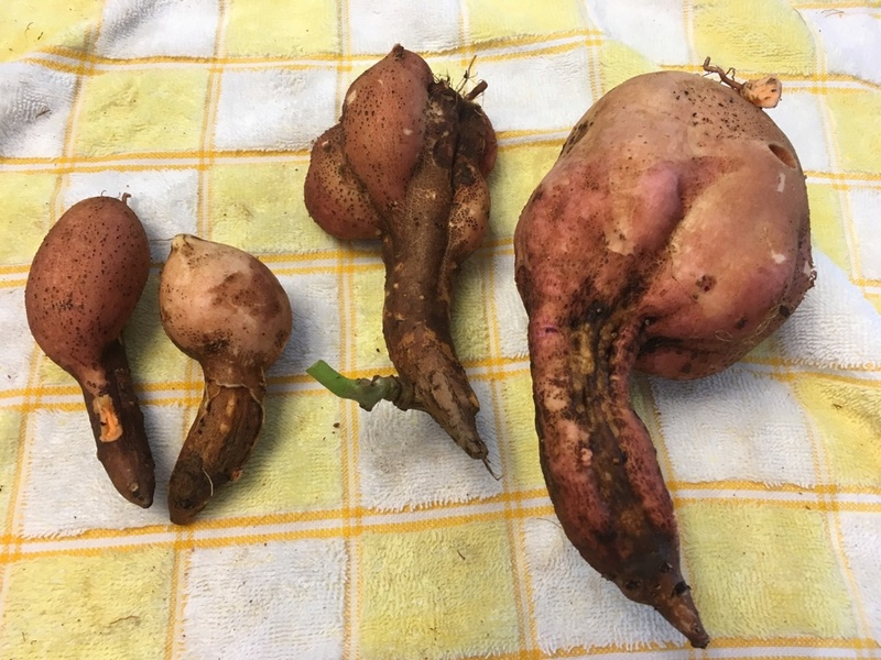 Sweet Potatoes - Page 3 Sweet_11