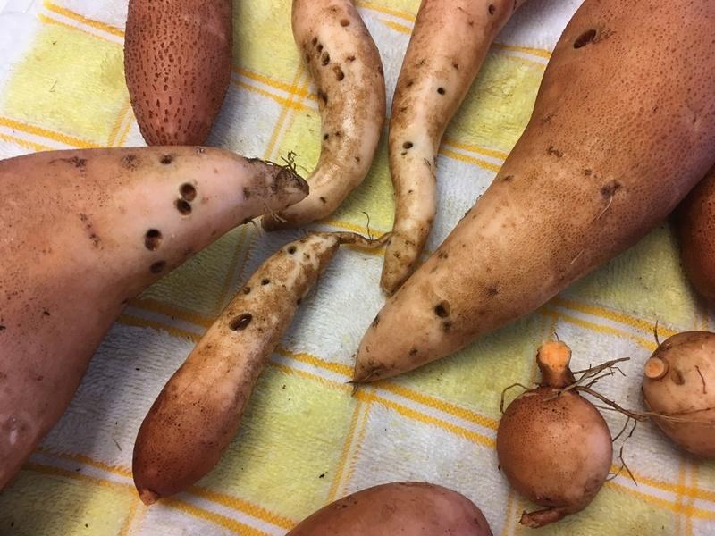 Sweet Potatoes - Page 3 Sweet_14