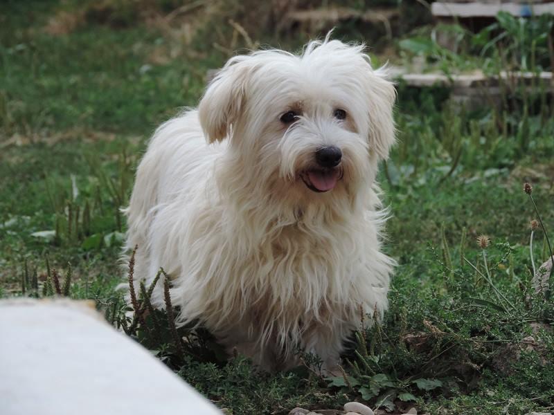 ERA, jolie Coton de Tuléar de 8 ans, réformée d'élevage Belle10