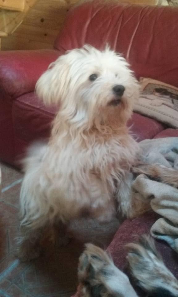 ERA, jolie Coton de Tuléar de 8 ans, réformée d'élevage Montye10