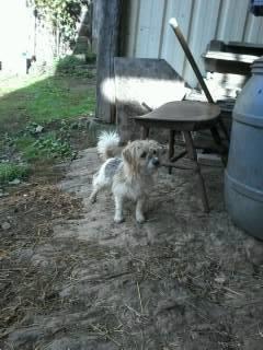 KOOKI, timide petit croisé bichon/fox de 2 ans Sanom10