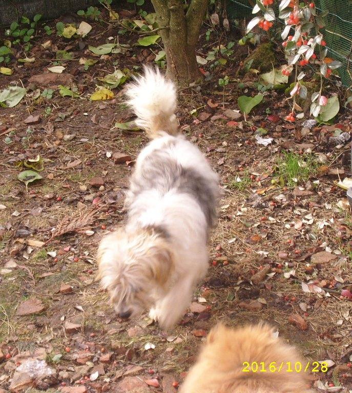 KOOKI, timide petit croisé bichon/fox de 2 ans Ssa56617
