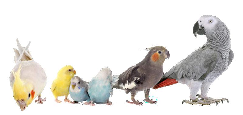 Photos d'oiseaux sur fond blanc Periqu10