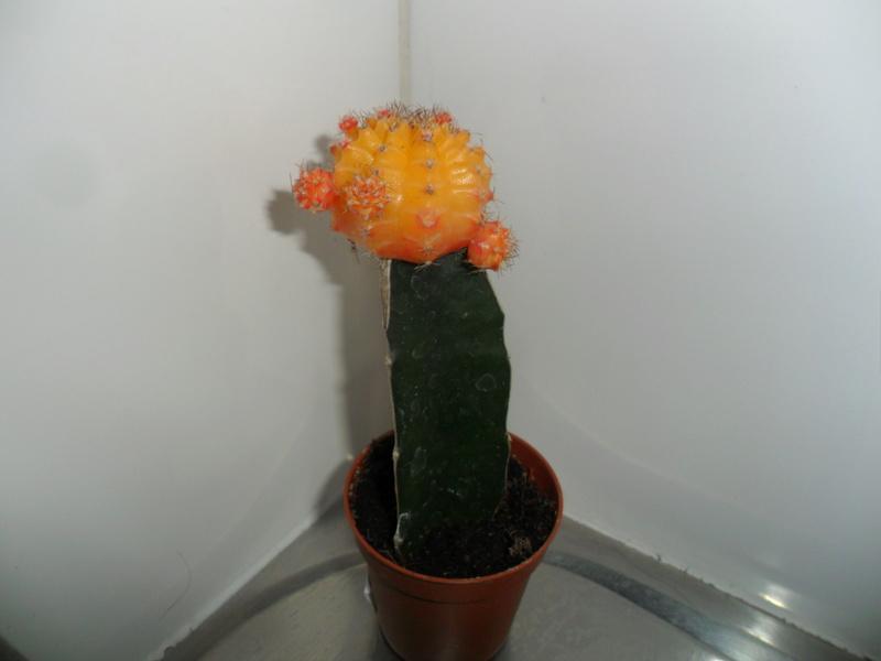Mes bébés cactus - Page 3 Sam_7114