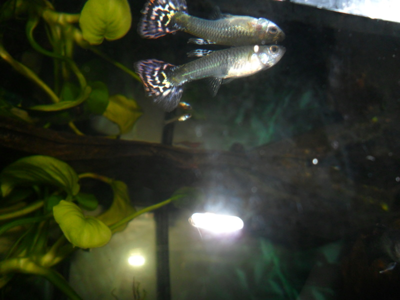 Mes guppies Sam_7328